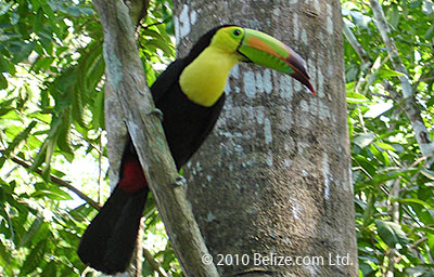 Keel billed Toucan Belize