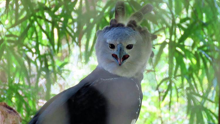 Belize Zoo Harpy Eagle
